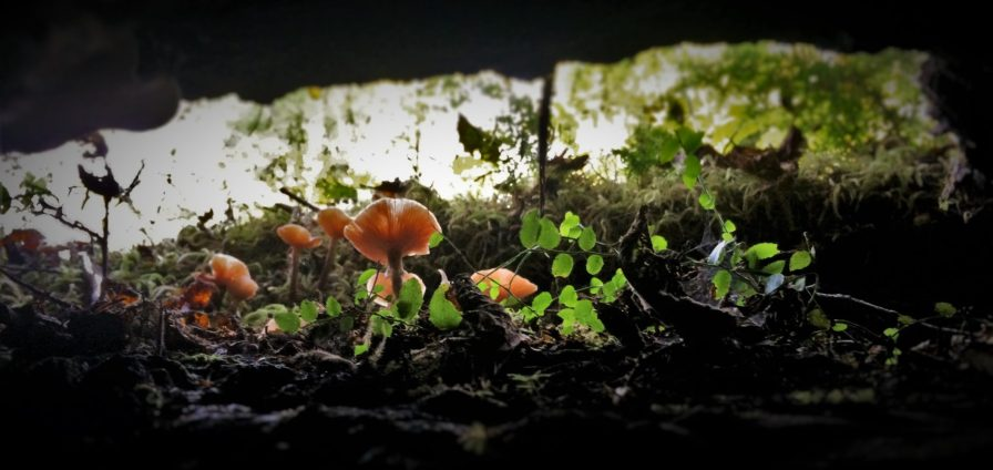 Mushrooms on Nursery Log Hoh Rainforest Olympic National Park 1