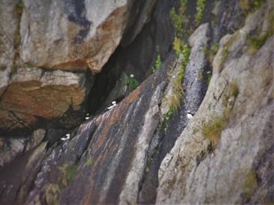 Tufted Puffins Nesting in Cliffs 2traveldads.com