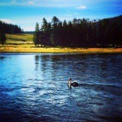 Pelican in Yellostone River Nez Perce Ford 1
