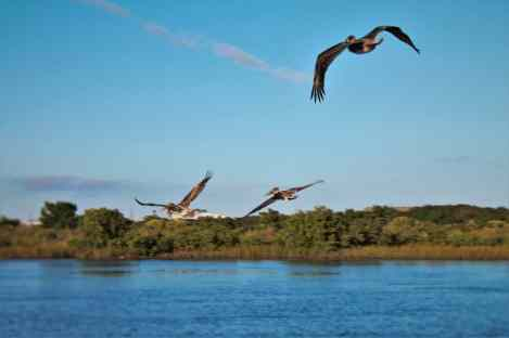Pelicans flying over river at Fort Matanzas National Monument St Augustine FL 1