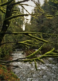 Mossy Trees and Creek at Oneonta Gorge Columbia Gorge Oregon