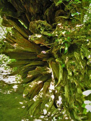 Fallen Tree Roots by Ohanapecosh River Mt Rainier National Park 2traveldads.com