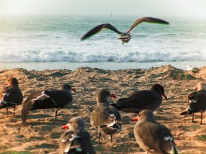 Grey Gulls at Pacific Beach San Diego 1