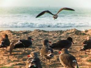 Grey Gulls at Pacific Beach San Diego 1