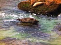 Seals in La Jolla Cove San Diego 3