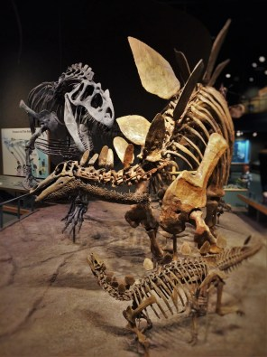Allosaurus and Stegosaurus Skeletons in Prehistoric Journey in Denver Museum of Science and Nature 2
