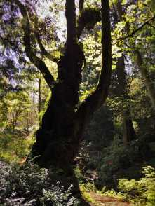 Ancient Maple Tree with moss at Bloedel Reserve Bainbridge Island 1