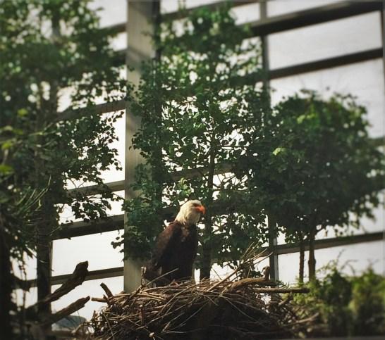 Animatronic Bald Eagle at Denver Downtown Aquarium 1