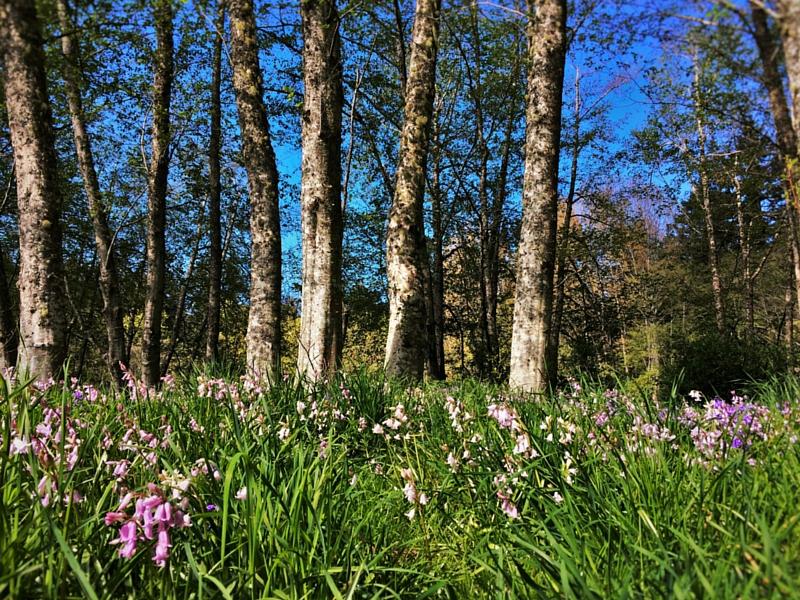 Aspens and Bluebells at the Bloedel Reserve Bainbridge Island 2traveldads.com