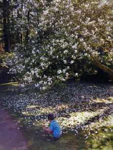LittleMan collecting Magnolia petals at Bloedel Reserve Bainbridge Island 1