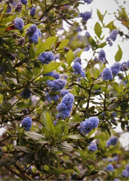 Blue flowering bush in Trinidad California 2traveldads.com