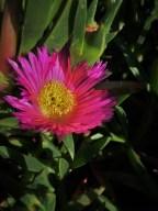 Flowers at Bodgea Head Bodega Bay 1