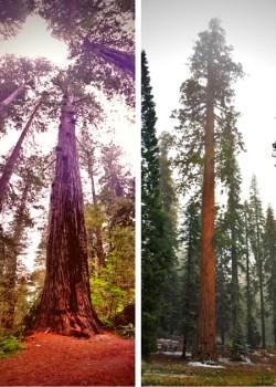 Redwood vs Sequoia 2traveldads.com
