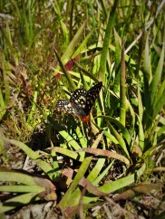 Butterfly at Hetch Hetchy Yosemite National Park 1