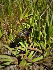 Butterfly at Hetch Hetchy Yosemite National Park 1