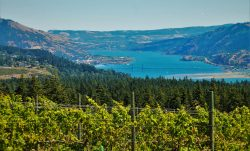 Columbia River Gorge Vineyard with Hood River beyond 2