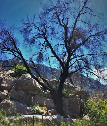 Dead black oak at Hetch Hetchy Yosemite National Park 1
