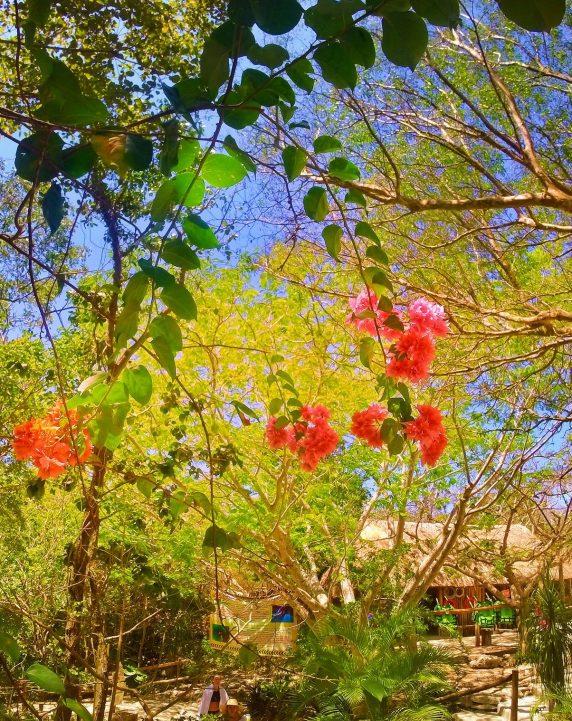 Bouganvillia at Cenotes Dos Ojos Playa del Carmen Mexico