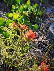 Indian Paintbrush blooming at Hetch Hetchy Yosemite National Park 1