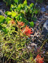 Indian Paintbrush blooming at Hetch Hetchy Yosemite National Park 1