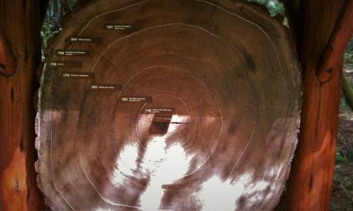 Redwood Cutaway Muir Woods National Monument