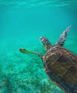 Swimming with Sea Turtles in Akumal 5