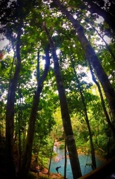 Trees at the Blue Hole St Anns Ocho Rios Jamaica 11