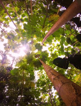 Trees at the Blue Hole St Anns Ocho Rios Jamaica 10