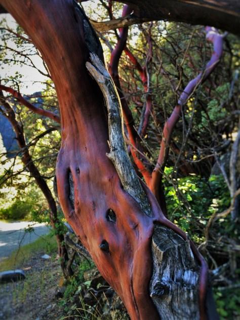 Weathered arboretus at Hetch Hetchy Yosemite National Park 1