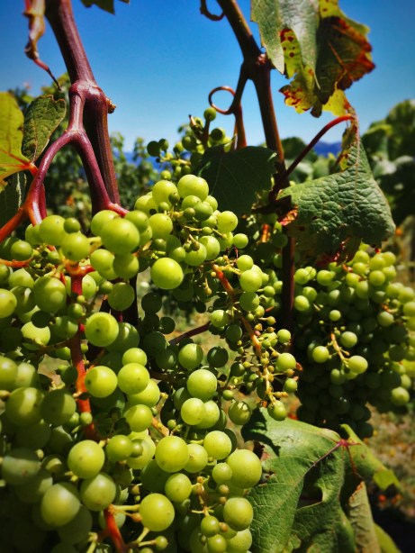 Wine Grapes at AniChe Cellars Underwood Columbia River Gorge 2