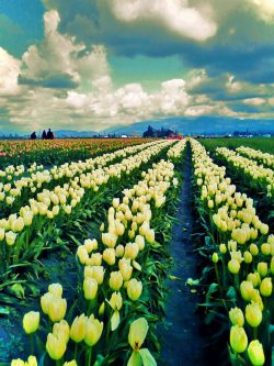 Tulip Fields La Connor Skagit Valley 2
