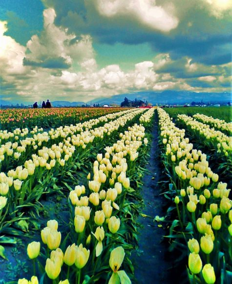 Tulip Fields La Connor Skagit Valley 2