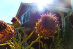Cardoon flowers Inn at Ship Bay Orcas Island 1