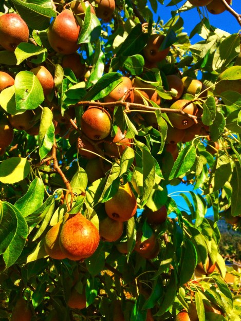Pear tree at Inn at Ships Bay Orcas Island 1