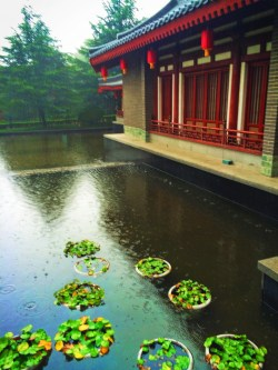 Lily pads at Tang Paradise Xian Imperial Garden 2