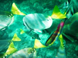 School of Surgeon fish while Snorkeling in Cabo San Lucas 2