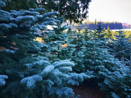 Frosted, frozen Christmas trees at Henry's Tree Farm, Kingston WA