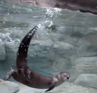River Otter in River Journey Tennessee Aquarium 1