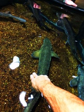 Sturgeon Touch Tank Tennessee Aquarium 1