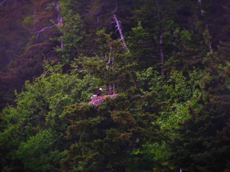 Bald Eagle with Nest Olympic Peninsula 2