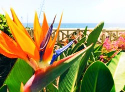 Bird of Paradise in park Santa Monica Bluffs 1