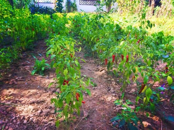 Chinese chili pepper garden Yanan Shaanxi 1