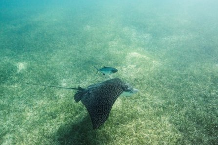 Eagle Ray Smiths Reef Turks and Caicos VisitTCI