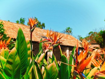 Birds of Paradise in Gardens at Mission San Juan Capistrano 1