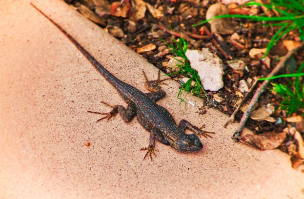 Lizard at Cabrillo National Monument San Diego 1