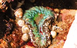 Sea Anemone in tidepools at Cabrillo National Monument San Diego 1