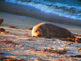 Seal on beach Central Coast California coast road trip 1