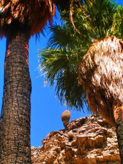 Cactus and Palms at Agua Caliente Palm Springs 1