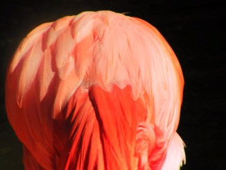 Flamingo feathers in Everglades National Park 1