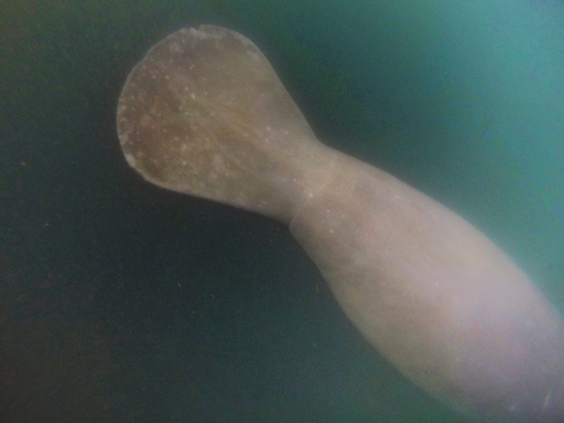Manatee Swimming in Crystal River Florida 4